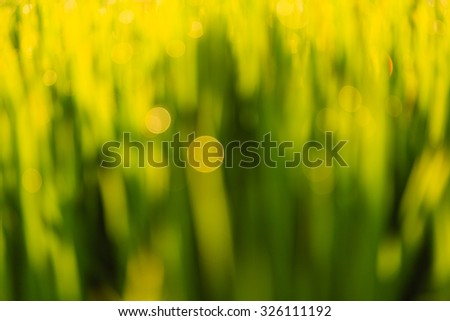 Blurred Background - Beautiful Natural Bokeh on green paddy field in morning. - stock photo