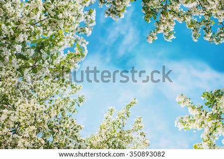 Blurred background with apple blossoms on blue sky. Spring flowers background with bokeh. - stock photo