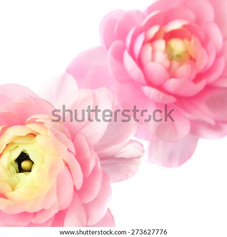Blurred flowers background.  Natural blurry buttercup flowers  isolated on white background - stock photo