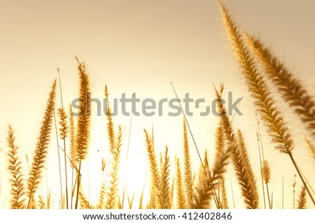 blurred gold meadow with sunlight