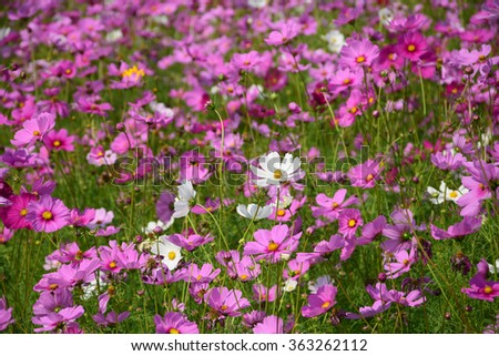 blurred image cosmos flowers field