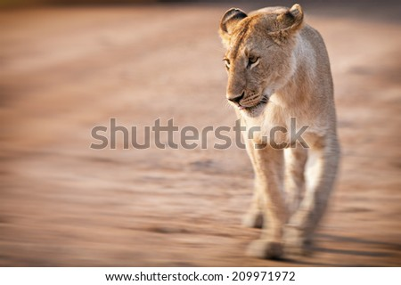 Blurred image of an African Lioness in the Maasai Mara National Park, Kenya
