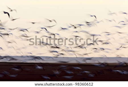 Blurred Image Snow Geese movement Saskatchewan Canada - stock photo