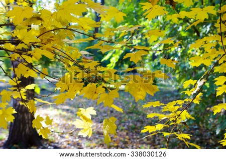 Blurred maple branches with yellow leaves in the foreground illuminated by bright autumn sun backlit. Selective focus and a blurred background.