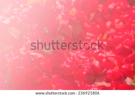 blurred red christmas flower poinsettia for background - stock photo
