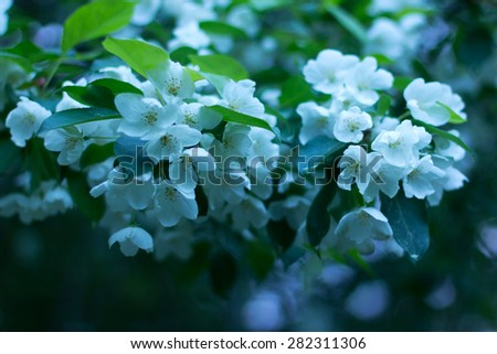 Blurred spring background. Apple blossoms late at night closeup with De-focus and shallow depth of field. - stock photo