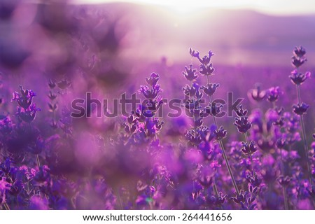 blurred summer background of lavender flowers - stock photo