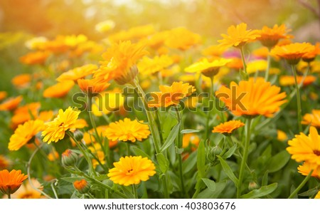 Blurred summer background with growing flowers calendula, marigold. Sunny day - stock photo