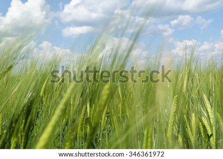Blurred view of the horizon and the sky with clouds through the green ears of wheat (rye) in the field - stock photo