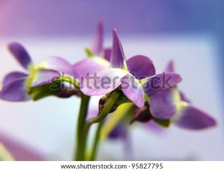 blurred violet - stock photo