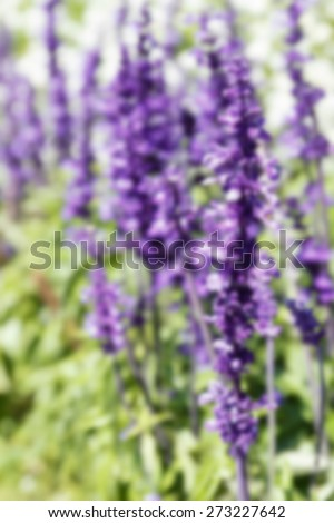 blurry defocused image of purple flower (Blue salvia) in the garden for background - stock photo