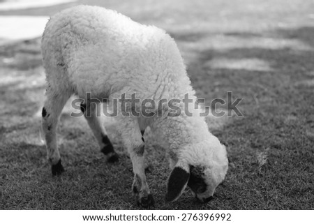 blurry of sheep lamb eat grass in the spring green grass background soft focus black and white tone. - stock photo