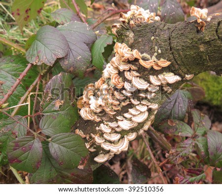 Blushing Bracket Fungus (Daedaleopsis confragosa) on a Decaying Branch in Dog Wood in Knutsford, Cheshire, England, UK - stock photo