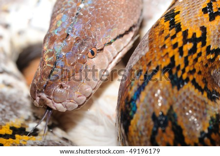 boa cobstrictor with forked tongue - stock photo