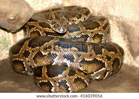 Boa Constrictor (Boa Constrictor) in Guatemala - stock photo