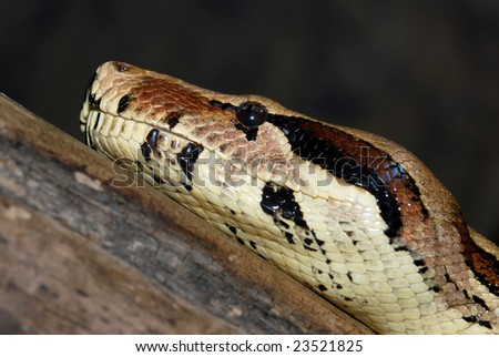 Boa constrictor snake, closeup image, head profile - stock photo