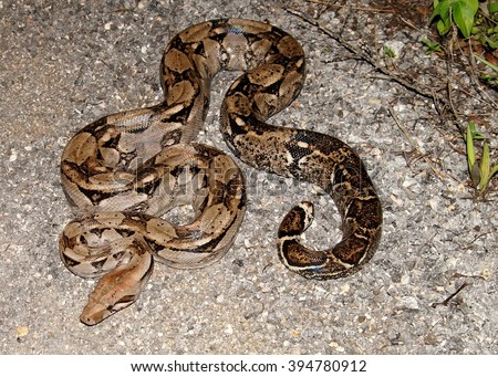 Boa Constrictor snake, coiled along the edge of a path in Central America - stock photo