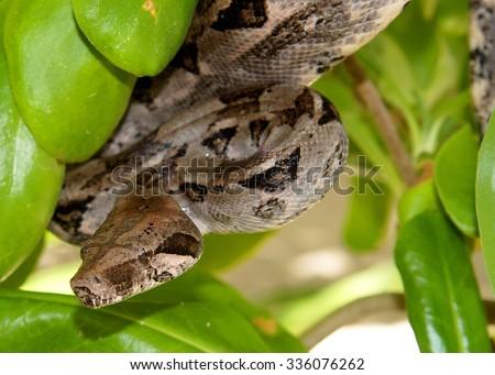 Boa Constrictor Snake hiding in a tree - stock photo