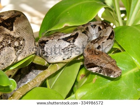 Boa Constrictor Snake in the jungle of Mexico - stock photo