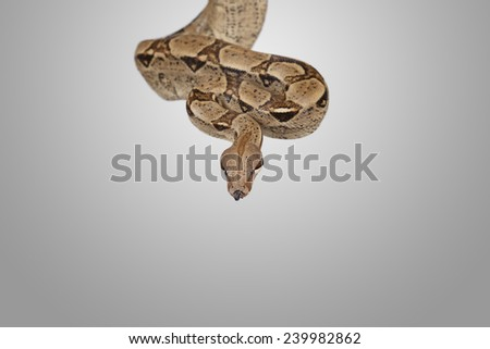 Boa constrictor studio shot for background, with place for your text