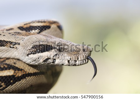 Boa Constrictor with tongue flick, Costa Rica