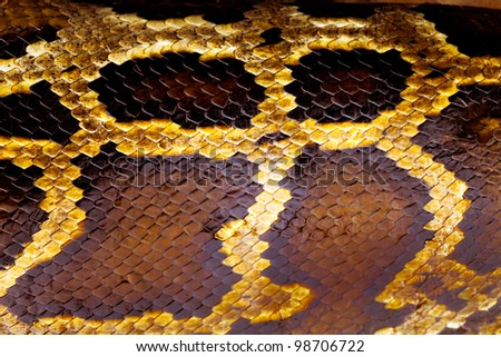boa snake skin from alive body, Korat, Thailand - stock photo