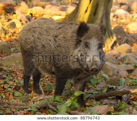 boar in autumn nature - stock photo