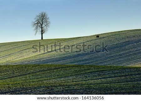 Boar walking through the snow field, damaging the field - stock photo