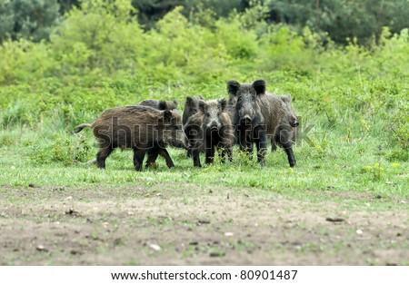 boars family - stock photo