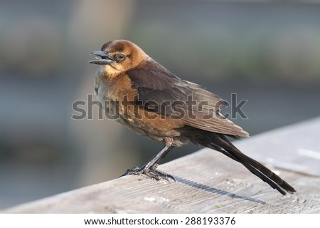 Boat-tailed Grackle (Quiscalus major) with a blue background - stock photo