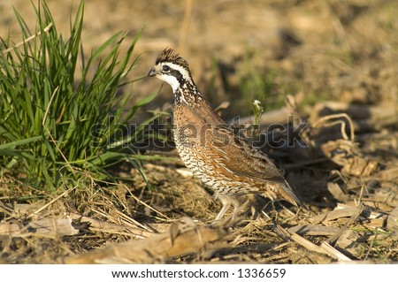 Bob white quail in field edge - stock photo