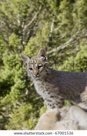 Bobcat kitten in the woods