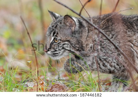 Bobcat Kitten (Lynx rufus) Stalks Left Through Grass - captive animal - stock photo