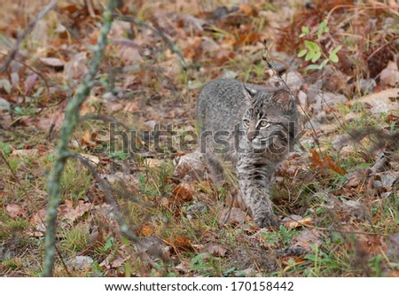 Bobcat Kitten (Lynx rufus) Stalks Through the Grasses - captive animal - stock photo