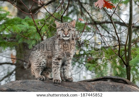 Bobcat Kitten (Lynx rufus) Stares at Viewer from Atop Log - captive animal - stock photo
