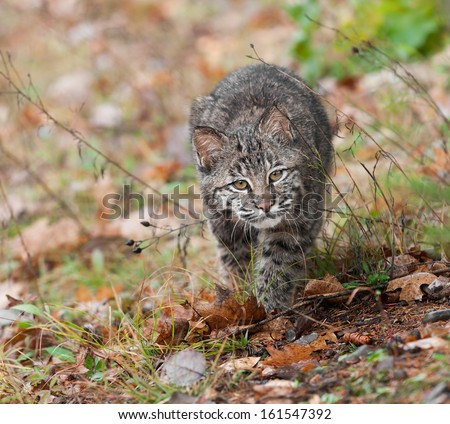 Bobcat (Lynx rufus) Stalk - captive animal - stock photo