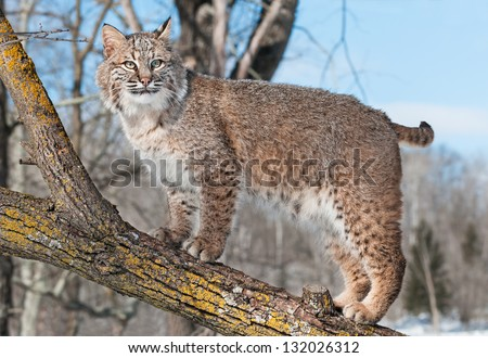 Bobcat (Lynx rufus) Stands on Branch  - captive animal - stock photo