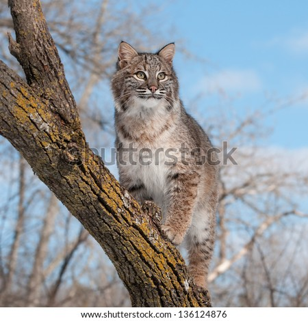 Bobcat (Lynx rufus) Stands on Branch Looking Right - captive animal - stock photo