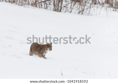 Bobcat (Lynx rufus) Walks Right Through Snow - captive animal