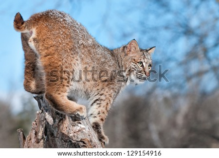 Bobcat (Lynx rufus) With Snow in His Fur Stands on Stump - captive animal
