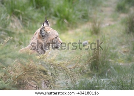 bobcat or lynx sitting in tall grass - stock photo