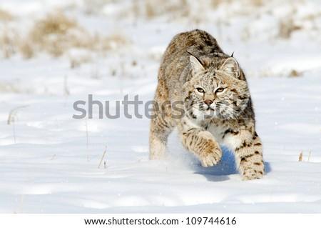 Bobcat Stalking Prey - stock photo