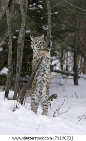 Bobcat stretching on tree limb with snow on ground - stock photo