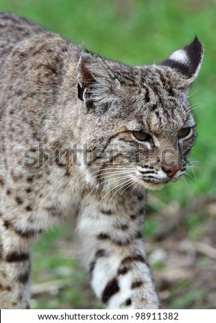 Bobcat Walking - stock photo