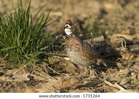 Bobwhite quail - stock photo
