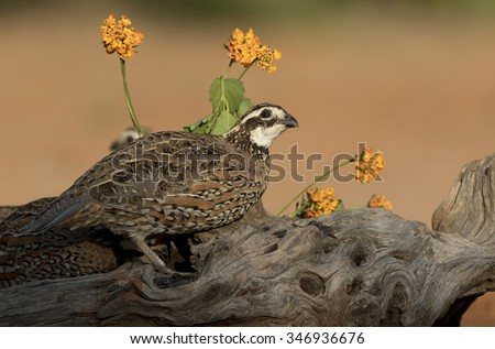 Bobwhite Quail - stock photo