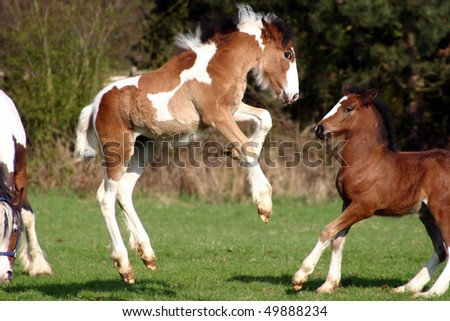 bocking Pferd, Fohlenfoal in spring - stock photo