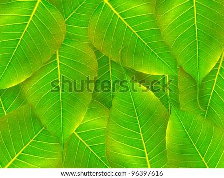 Bodhi Tree Leaves black background - stock photo