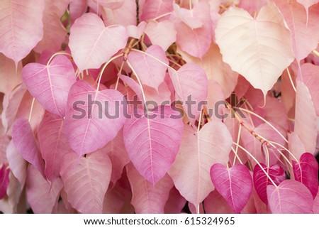 Bodhi Tree Pink Color Leaves Sacred Fig Shape Like A Heart Amazing Thailand