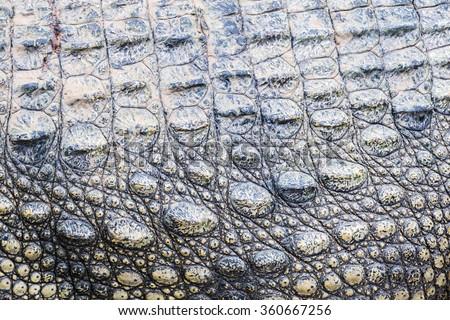 Body and skin of Crocodile - stock photo